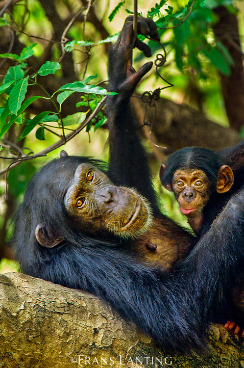 Chimpanzee mother with newborn infant, Pan troglodytes verus, Fongoli, Senegal