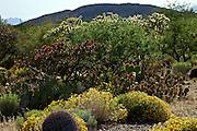 Flowers blooming in spring in the Sonoran Desert of Arizona