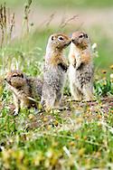 Three juvenile Arctic Ground Squirrels look out for predators. Arctic National Wildlife Refuge, Alaska