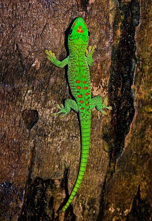 Madagascr Gian Day Gecko (Phelsuma madagascariensis grandis)