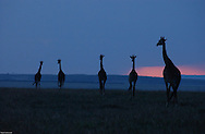 A herd of giraffes, walk their way during sunset in the plains of the Serengeti, Tanzania. (PHOTO: MIGUEL JUAREZ LUGO).