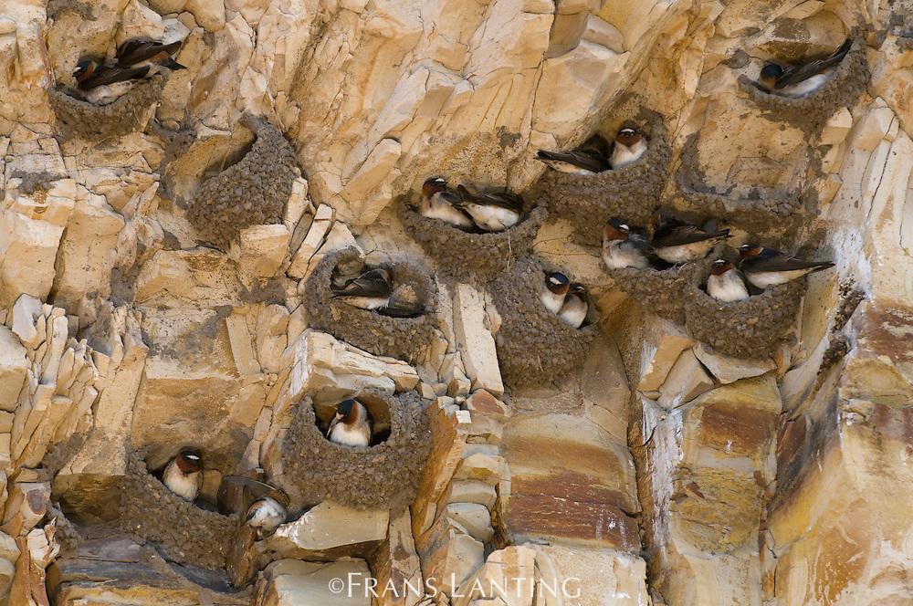 Cliff swallows on nests, Petrochelidon pyrrhonota, Four Mile Beach, Monterey Bay, California