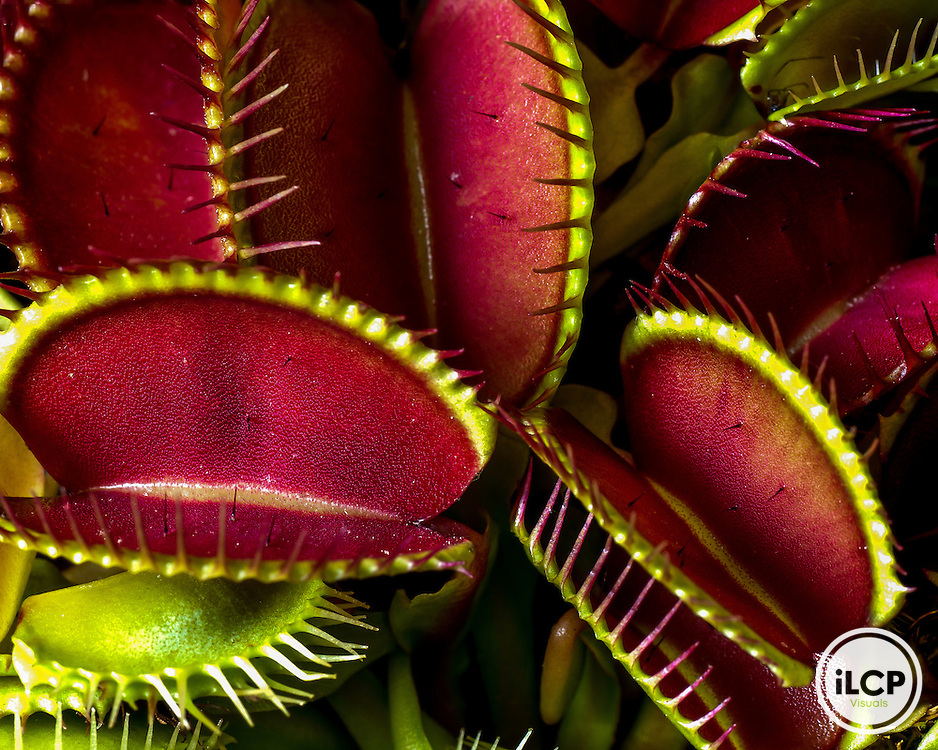 A cluster of venus fly trap plants (Dionaea muscipula) grow in a research greenhouse at a college in Central North Carolina.