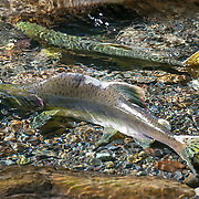 "A male pink salmon hangs half-submerged in the sun, close to a female in the shallows so that he can fertilize any eggs she lays. Their nickname is ""humpy"" for the hump the males grow during the spawning migration upriver. They are migrating in large numbers up the Dungeness River, one of the steepest in the country, which originates high in the Olympic range."
