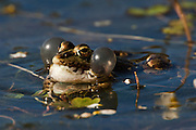 Marsh or Lake Frog (Rana ridibunda)<br /> Sierra de And&uacute;jar Natural Park, Mediterranean woodland of Sierra Morena, north east Ja&eacute;n Province, Andalusia. SPAIN<br /> RANGE: 2 separate areas of Europe. One in Iberia and s France and other in the east from Germany east to Russia &amp; the Balklands. INTRODUCED INTO UK.<br /> These are gregarious, diurnal &amp; very aquatic frogs.<br /> <br /> Mission: Iberian Lynx, May 2009<br /> &copy; Pete Oxford / Wild Wonders of Europe<br /> Zaldumbide #506 y Toledo<br /> La Floresta, Quito. ECUADOR<br /> South America<br /> Tel: 593-2-2226958<br /> e-mail: pete@peteoxford.com<br /> www.peteoxford.com