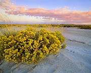 0113-1001 ~ Copyright:  George H. H. Huey ~ Rabbitbrush [or chamisa].   [Chrysothamnus nauseosus.] blooming in autumn at sunset, in the Painted Desert.  Petrified Forest National Park, Arizona.