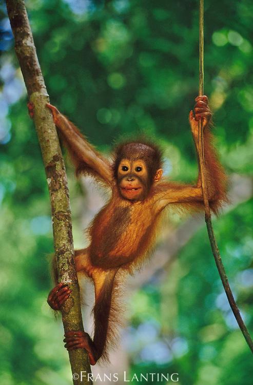 Bornean orangutan infant climbing tree, Pongo pygmaeus, Sepilok Reserve, Sabah, Borneo