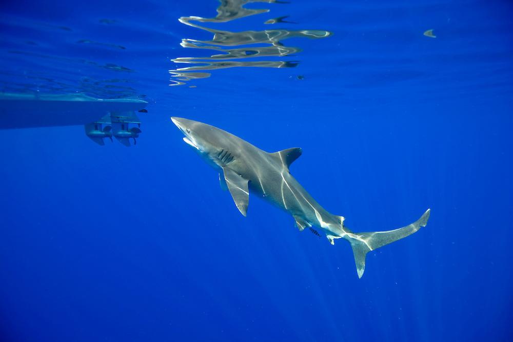 USA, Hawaii, Big Island, Underwater view of Oceanic White Tip Shark (Carcharhinus longimanus) swimming past small dive boat in Pacific Ocean