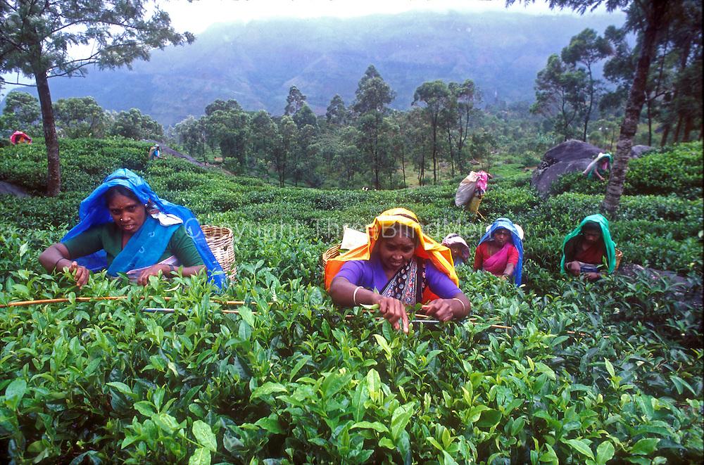 Women plucking tea on an estate near Pundul Oya.