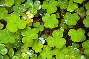 clover leaves, close up, Rredwood National Park, California