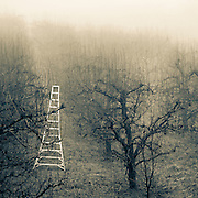 Misty orchard ladder fine art photograph