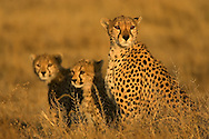 Portrait of an adult cheetah and her cubs sitting in the grasslands, Tanzania