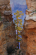 Tree. Grand Canyon National Park.