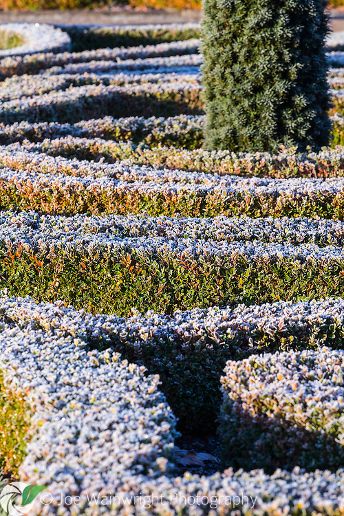 A frosted box hedge in the Upper Flower Garden at Trentham Gardens, Staffordshire - photographed in January