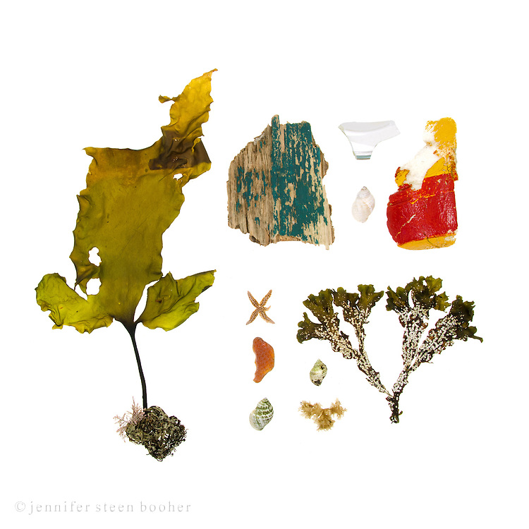 There were big waves the morning after Hurricane Irene, and enormous piles of fresh seaweed. Kelp (Saccharina latissima), fragment of a painted wooden boat, sea star (prob. Asterias vulgaris), sea glass, Dog Whelks (Nucella lapillus), Irish Moss seaweed (Chondrus crispus),  broken china, part of a styrofoam lobster buoy, and Rockweed (Fucus distichus) covered with Coiled Tube Worm (Spirorbis spirillum).