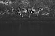 A group of zebras standing near a pond, Akagera National Park, Rwanda.
