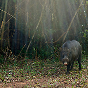 A wild eurasian wild pig, sus scrofa, in Thap Lan National Park, Thailand. Picture is taken with an automatic camera trap.