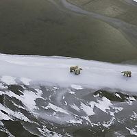 Polar Bear ( Ursus maritimus ) in frozen Hudson Bay Canada   winter , tundra , arctic , ice ,  marine mammal , snow  , aerial , mother &amp; calf @ Kike Calvo - V&amp;W<br />