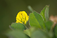Black Medic (Medicago lupulina) flower and leaves, 2x lifesize in camera