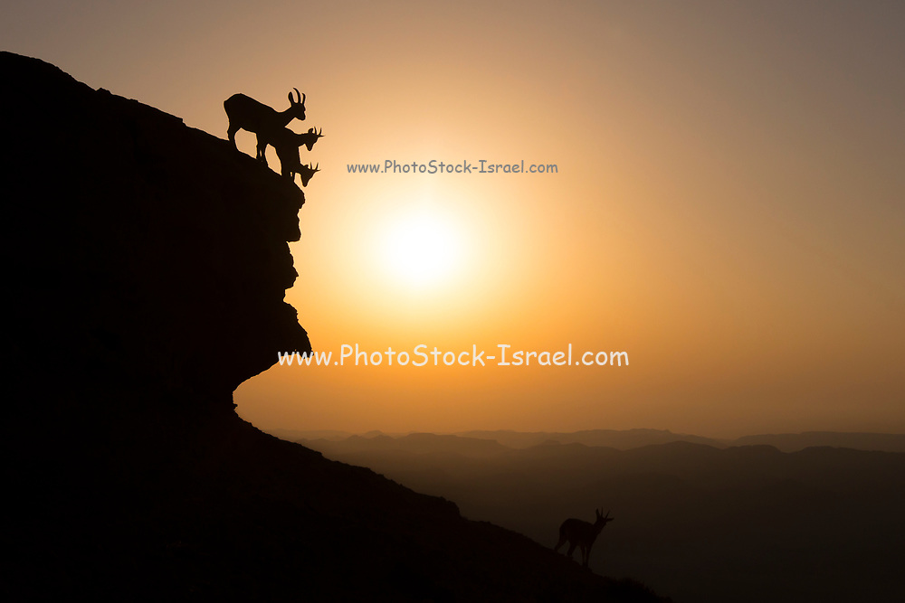 herd of Nubian Ibex (Capra ibex nubiana), climb down a cliff at sunrise. Photographed on the edge of the Ramon crater, Negev Desert, Israel