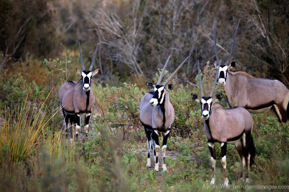 Africa, Namibia, Puros. Gemsbok, close relative of the Oryx.