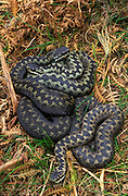 During early spring Adders emerge from hibernation and bask to raise their temperature for the spring moult and, later, mating.