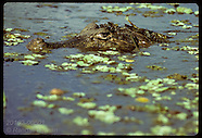 06: CAIMAN ADULTS IN WATER & LAND