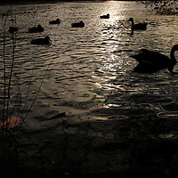 Ducks and geese float on a pond in Watertown, Massachusetts.  Photo by Matthew Healey