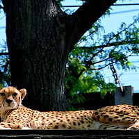 Female Cheetah at Philadelphia Zoo in Philadelphia, Pennsylvania<br /> This is Nyika, a female cheetah resting at the Philadelphia Zoo. She was watching her two daughters Kira and Kashi endlessly playing. The animal&rsquo;s characteristic tear stripe from her eyes makes it appear she is crying. This native of southern Africa can run up to 70 m.p.h. for up to 300 yards, making it the fastest land mammal. That burst of speed makes her the first in line when the zookeeper arrives with breakfast. She displayed that talent immediately after this photo was taken.