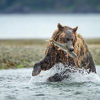 USA, Alaska, Katmai National Park, Coastal Brown Bear (Ursus arctos) bites into spawning pink salmon in stream along Kukak Bay