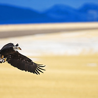 February and March are great months to view eagles in the area as the Gallatin Valley serves as a migration corridor for both bald and golden eagles during this time.