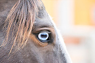 Blue eye, horse, Equus caballus, PROPERTY RELEASED