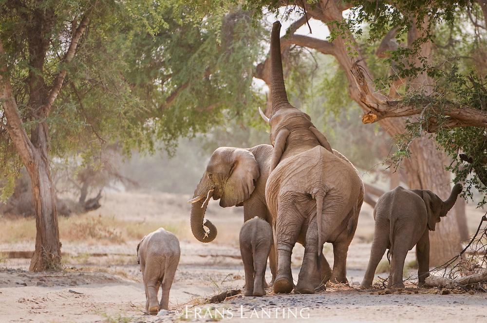 Desert elephants, Loxodonta africana, Huab River, Torra Conservancy, Damaraland, Namibia