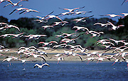 Greater Flamingo ( Phoenicopterus ruber). Yala National Park.