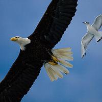 USA, Alaska, Tongass National Forest,  Bald Eagle (Haliaeetus leucocephalus) chased in flight by small shorebird above Holkham Bay