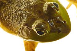 Bull frog. Seacoast Science Center, Rye, NH.