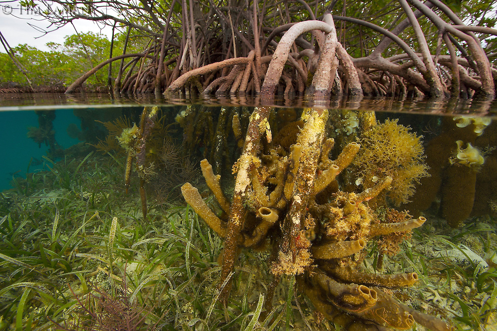 Rich invertebrate life including in some places corals, tunicates, and sponges, cover the underwater portions of red mangrove roots on this offshore mangrove island in Belize.  ..This habitat is an important nursery area and provides shelter for many fish species..Tunicate Cove, Belize.