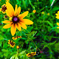 Black-eyed Susan and other wildflowers in a Maryland garden.