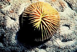 Coral duro na Indonesia, ocorrendo tambem na Australia e Mar Vermelho./Stony coral in Indonesia, occurring in Australia and Red Sea. Corais ou antozoarios sao animais cnidarios e uma das maravilhas do mundo submarino. Os corais constituem colonias coloridas e de formas espantosas que crescem nos mares e podem formar recifes de grandes dimensoes que albergam um ecossistema com uma biodiversidade e produtividade extraordinarias./Corals are marine animals of the class Anthozoa, which also includes the sea anemones (order Actiniaria). / Corals are gastrovascular marine cnidarians (phylum Cnidaria) and exist as small sea anemone-like polyps, typically in colonies of many individuals. The group includes the important reef builders known as hermatypic corals, found in tropical oceans, and belonging to the subclass Zoantharia of order Scleractinia. The latter are also known as stony corals since the living tissue thinly covers a skeleton composed of calcium carbonate.