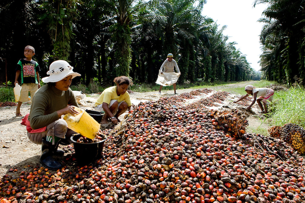 Workers collect palm fruit  from the 22,000 hectare palm oil plantation of the Sinarmas Group. More than 11,000 workers are employed on the plantation, which contains its own village in Papua, Indonesia, Sept. 4, 2008..Daniel Beltra/Greenpeace