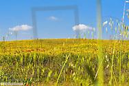 Flowers on pasture, Latium, Italy