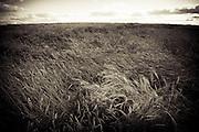A wheat field sways in the wind, Birch Hills, Saskatchewan.