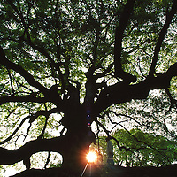 """Sunset behind a mature oak tree on the grounds of the Toji ?? temple, """"East Temple. UNESCO world heritage site.  Toji is the one of the most important Shingon temples. Kyoto, Japan"""