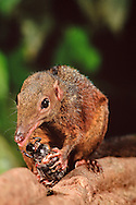 Large treeshrew, Tupaia tana, eating a ground beetle, Danum Valley, Sabah, Borneo