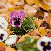 Pansie blooms, in autumn leaves,