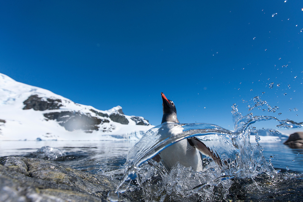 Antarctica, Cuverville Island, Gentoo Penguin (Pygoscelis papua) leaping from water onto rocky shoreline with mountains of Ronge Island in distance