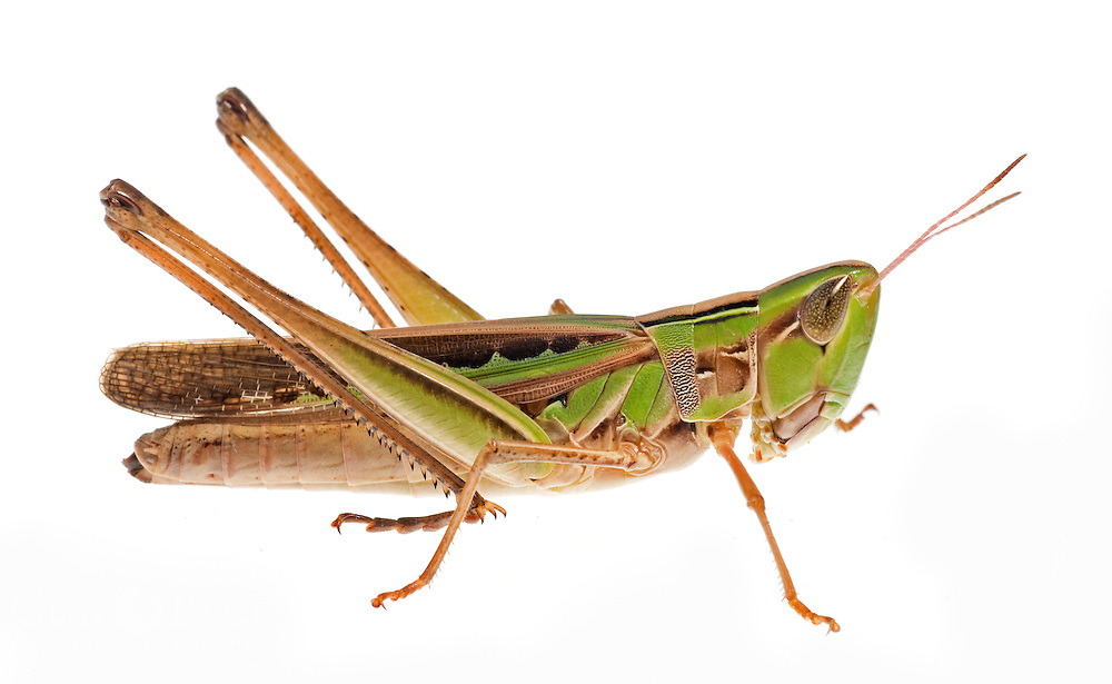 Admirable Grasshopper (Female) (Syrbula admirabilis)