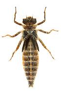 Arrowhead Spiketail (Cordulegaster obliqua) nymph<br /> LOUISIANA: Natchitoches Parish<br /> Middle Branch Bog; Pearson Ridge Wildlife Managment Area in Kisatchie National Forest<br /> 1-Apr-2016<br /> J.C. Abbott #2783 &amp; K.K. Abbott