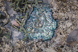 An anemone lies half exposed in a shallow pool in the intertidal zone on Macleay Island.