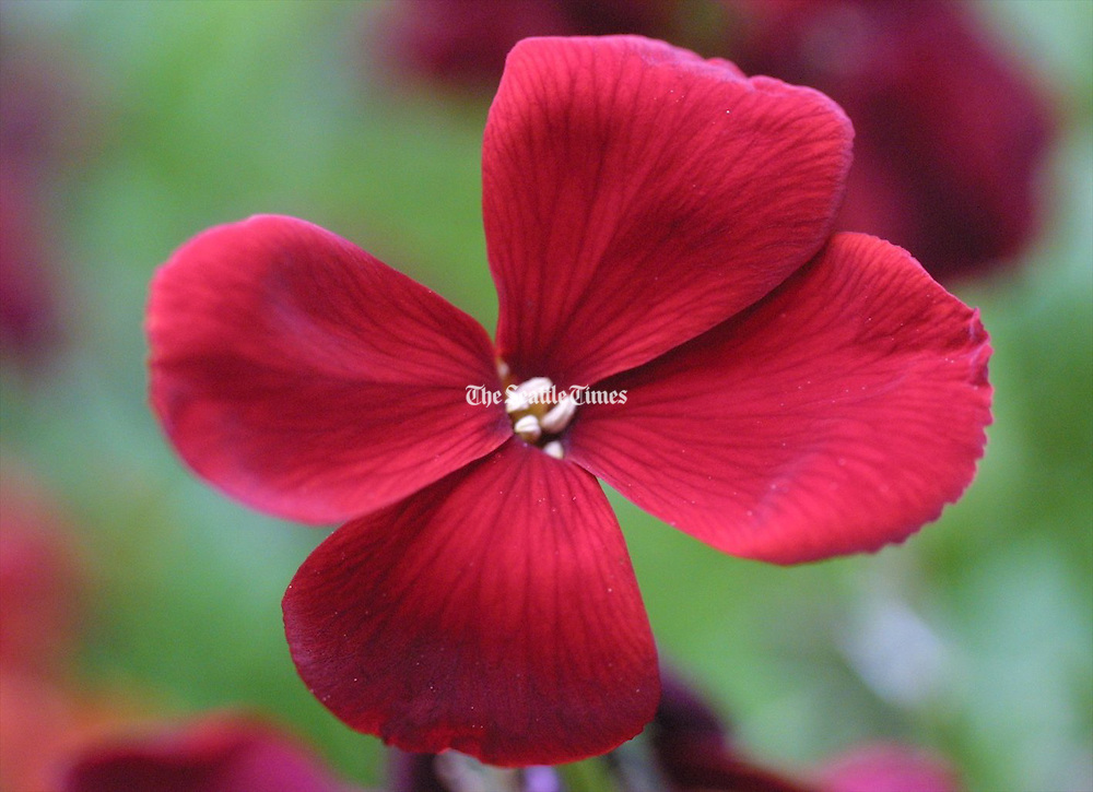 Drought-tolerant red wallflower plant. (Alan Berner / The Seattle Times)